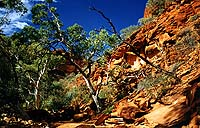 Baum in Kings Canyon, NT